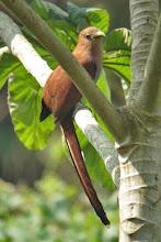 Photo: Squirrel Cuckoo