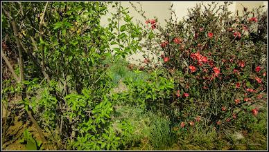 Photo: Calea Victoriei, Nr.3, spayiu verde - - Gutui Japonez - (Chaenomeles japonica) - 2017.04.01