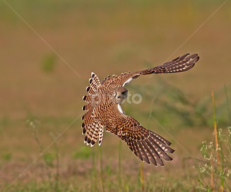 My Wings by Jineesh Mallishery - Animals Birds ( kestral, wildlife, jineesh, birds )