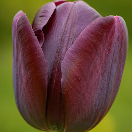 Tulip by Darrell Evans - Flowers Single Flower ( flower head, pink, queen of the night, flora, freshness, petals, summer, spring, red, petal, day, green, nature, flowers & plants, beauty in nature, tulip, flower, outdoor, close-up, outdoors, plant, purple, growth, tulipa, maroon, fragility, no people, stem )
