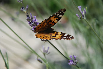 Photo: Painted Lady Hanioti, Greece Aug 09 Nikon D80