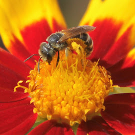 Bee on flower by Theodor Hinrichs - Animals Insects & Spiders ( bee, insect, animal, yellow-red, colors, flower )