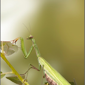 Praying Mantis by Michel Arel - Animals Insects & Spiders ( prayingmantis, michel arel, insects )