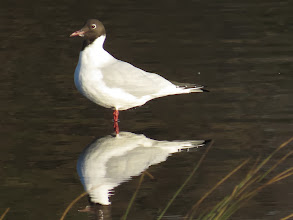 Photo: Priorslee Lake This Black-headed Gull already sports the chocolate 'hood' of breeding plumage – just a hint of white on the chin betrays it not quite in full breeding condition. (Ed Wilson)