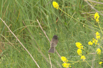 Photo: Olive sided Flycatcher