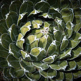 Agave by Dawn Hoehn Hagler - Nature Up Close Other plants ( tucson, succulent, green, arizona, plant, agave, bach's cactus nursery,  )