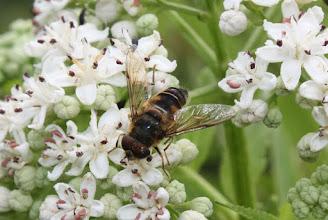 Photo: Eristalis pertinax  Diptera > Syrphidae