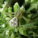 Swift Crab Spider