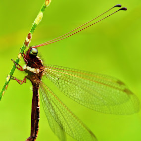 Perch and Hang by Irfan Marindra - Animals Insects & Spiders ( owlfly, dragonfly )