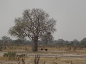 Photo: Two ostriches under the tree now