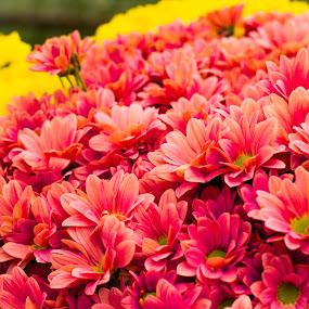 Tomohon flower by Rizal Pungus - Flowers Flower Arangements ( tomohon )