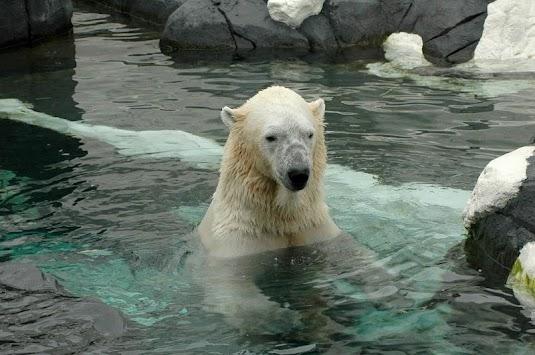 Download Polar Bear Wallpapers By Veronikadev Apk Latest Version App