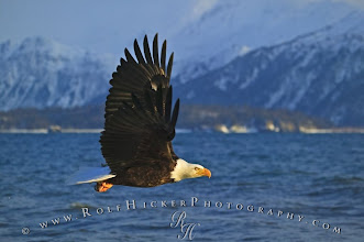 Photo: Bald Eagle Flying Alaska
