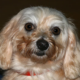 Belle 2 by Chrissie Barrow - Animals - Dogs Portraits ( crossbreed, fur, ears, cream, portrait, dog, pet, maltese )