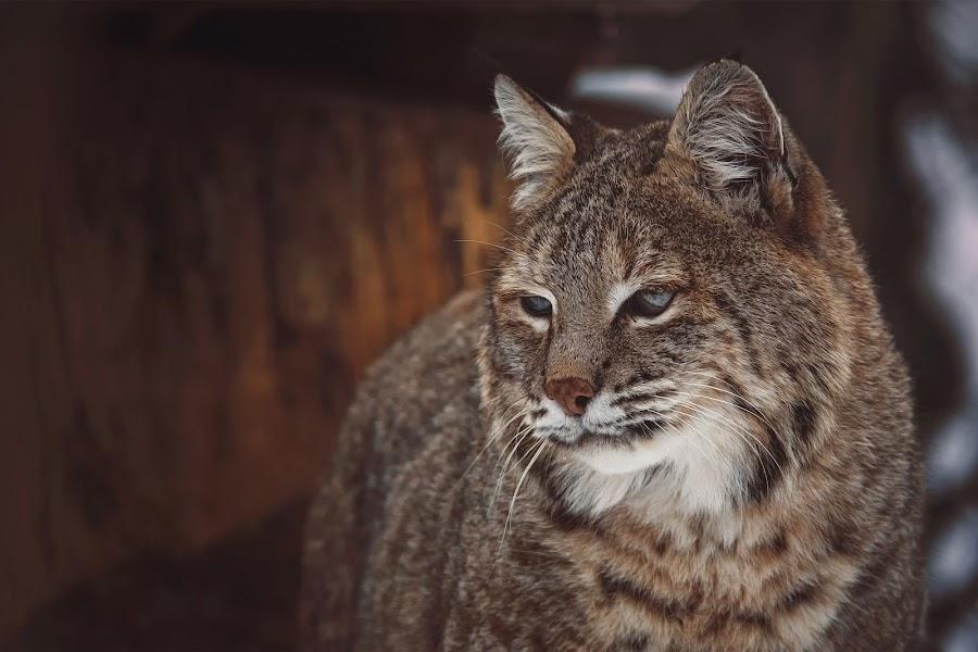 Bobcat lynx by Ondřej Chvátal - Animals - Cats Portraits ( fur, feline, bobcat, lynx, winter, muzzle, portrait, eyes, look, cat, carnivore, detail, zoo, wild, wildlife, czech,  )