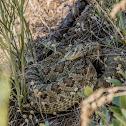 Western Rattle Snake