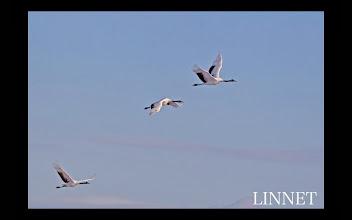 Photo: 丹頂鶴の飛翔 Flight of  Manchurian Crane