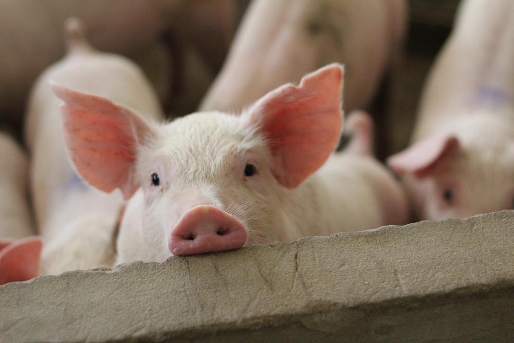 Com necessidade de suprir estoques, China deve comprar carne suína brasileira. (Fonte: Chirath Photo/Shutterstock)
