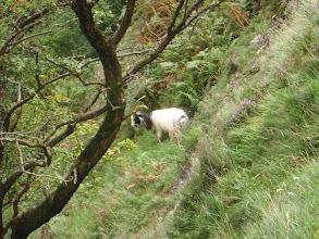 Photo: Clogwyn y Bustach - mountain goat