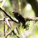 Yellow-rumped Honeyguide