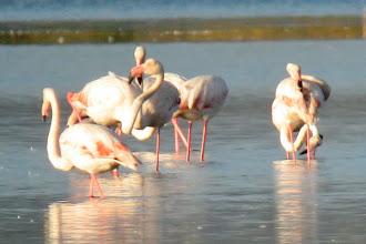 Photo: Greater Flamingos