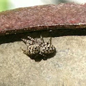 Peppered Jumper Spider