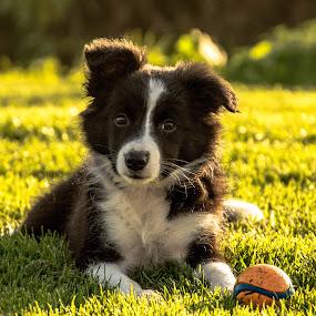 Puppy Sky by Thyra Schoonderwoerd - Animals - Dogs Puppies ( border collie, sky, puppy, dog, posing )