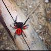 Araña saltadora moteada