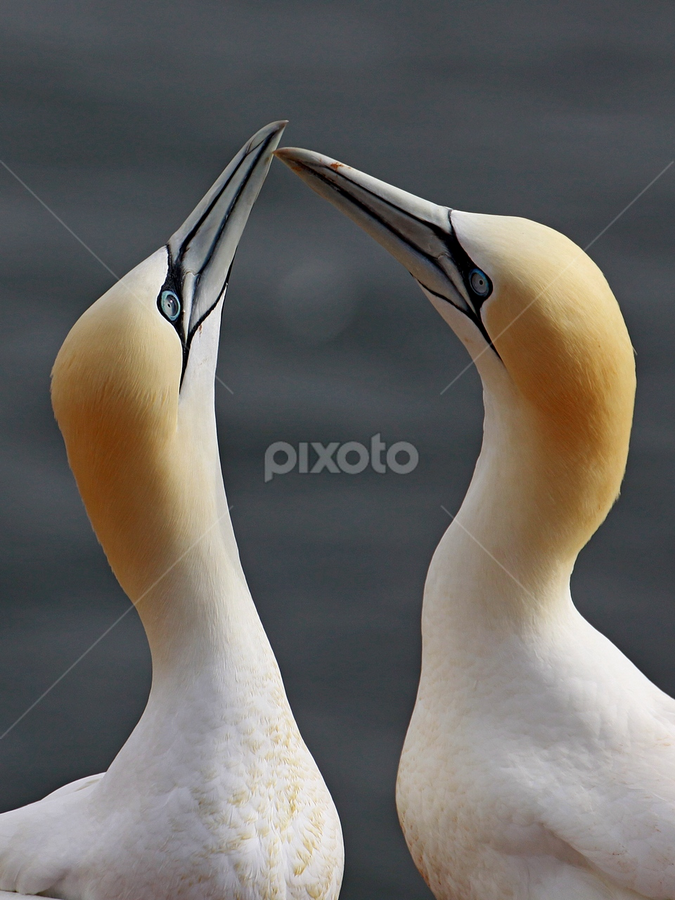 Lovers by Blaz Crepinsek - Animals Birds ( Love is in the Air, Challenge, photo,  )