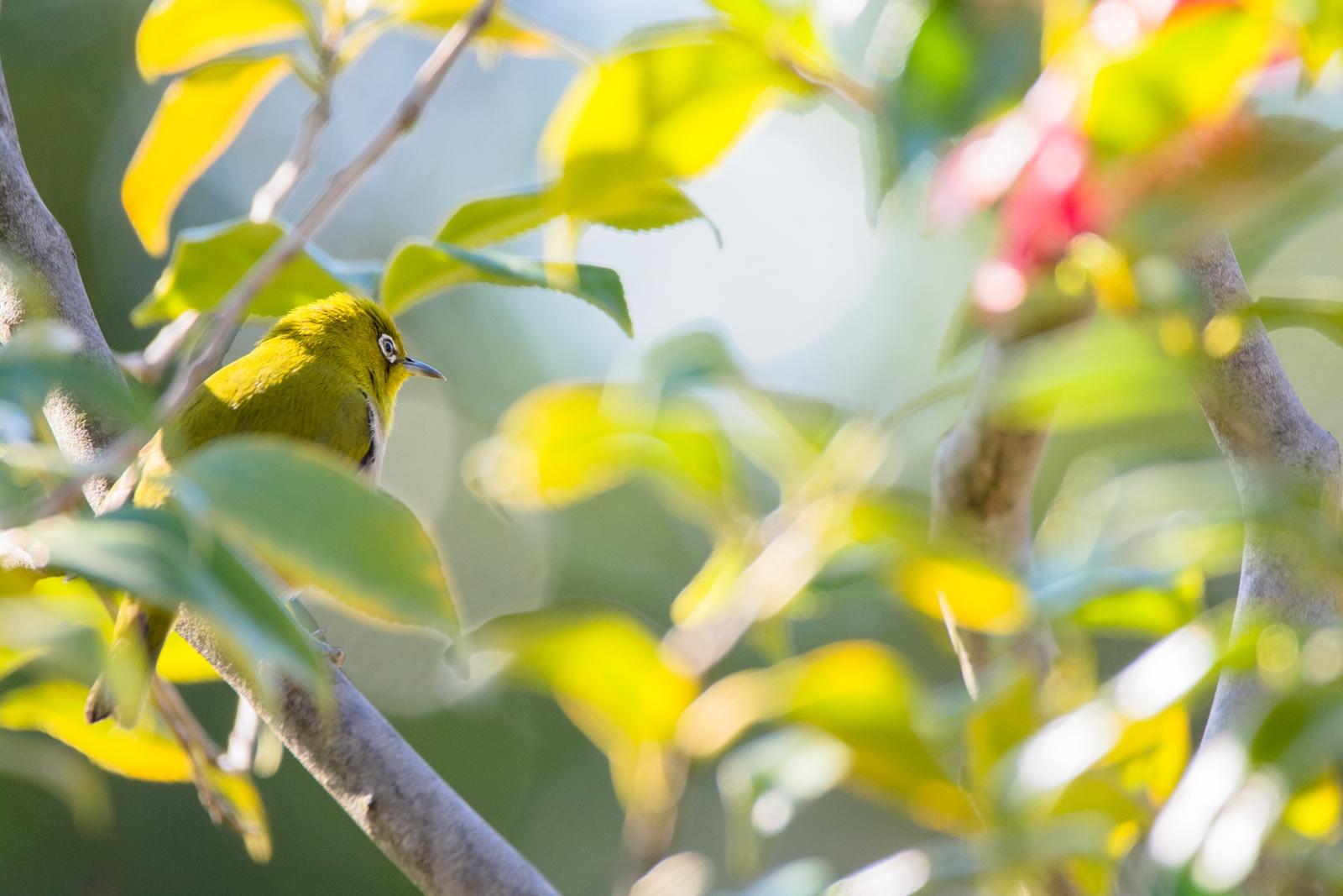 Photo: 「そっと見守る」 / Quietly watch over spring.  茂みに潜みながら 小さな声で 言葉を交わす 変わりゆく植物たちを そっと見守りながら  Japanese White-eye. (メジロ)  Nikon D7200 SIGMA 150-600mm F5-6.3 DG OS HSM Contemporary  #birdphotography #birds #kawaii #nikon #sigma #小鳥グラファー  ( http://takafumiooshio.com/archives/1102 )