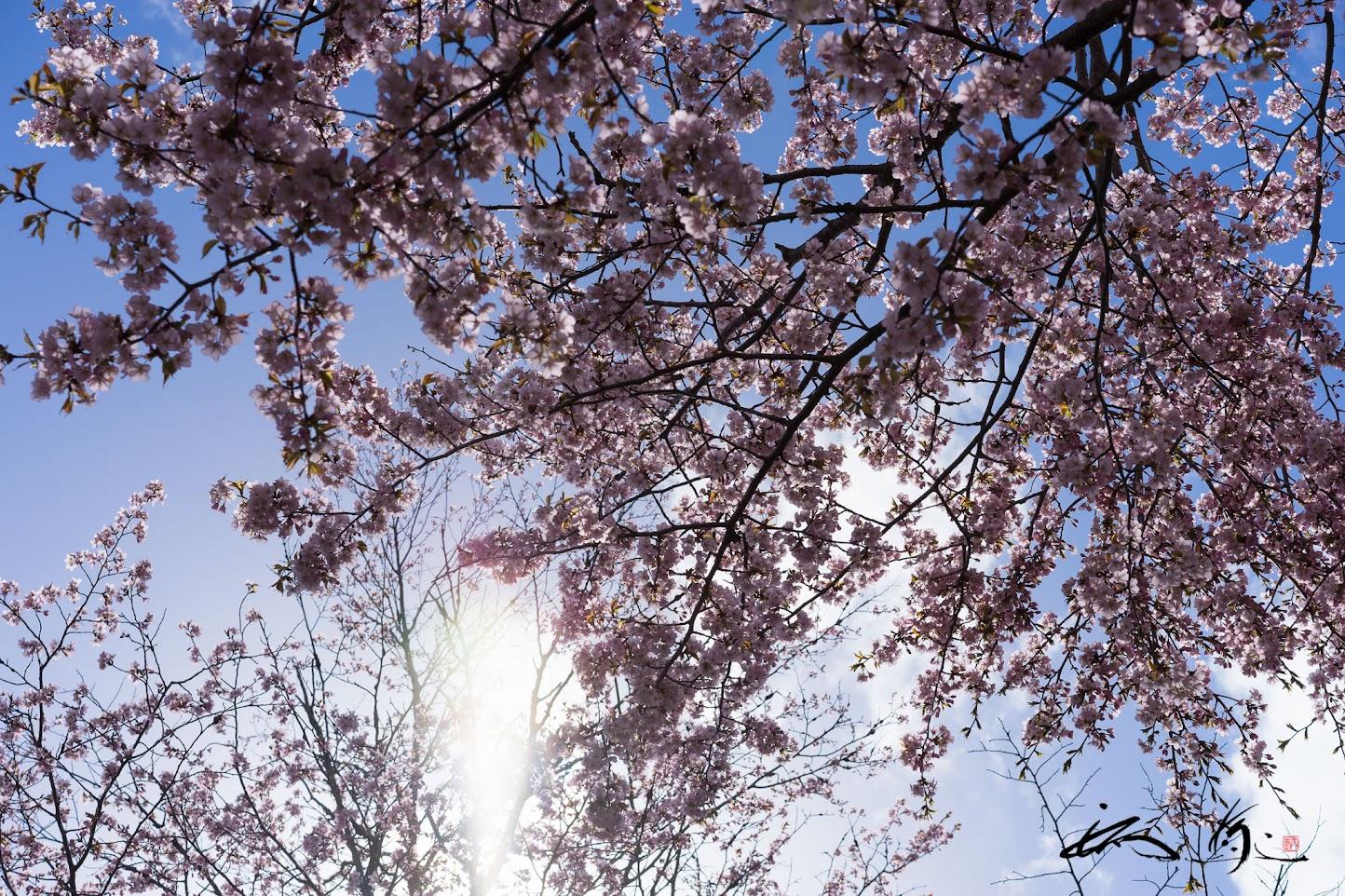 大和魂の光を放つ壮麗なる桜