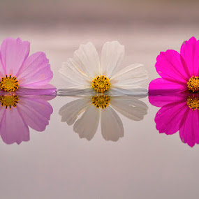 three colour by Kadek Lana - Nature Up Close Flowers - 2011-2013 ( kadek wismalana, , flower, nature, flowers )