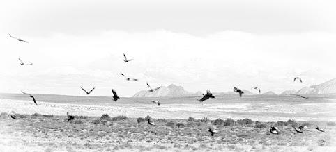 Photo: Andean Condor (Andenkondor)