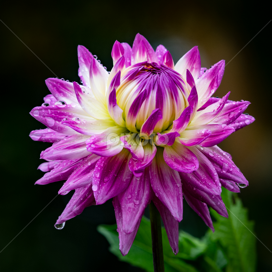 by Keith Sutherland - Flowers Single Flower (  )
