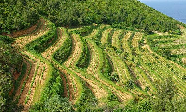 Террасные виноградники Кассиса