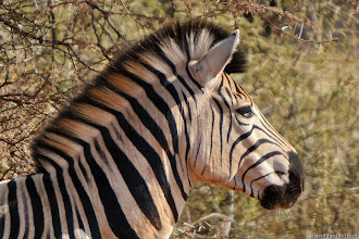 Photo: Just back from the hairdresser...  Mokala National Park.