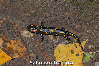 Photo: Salamandra Tiro
