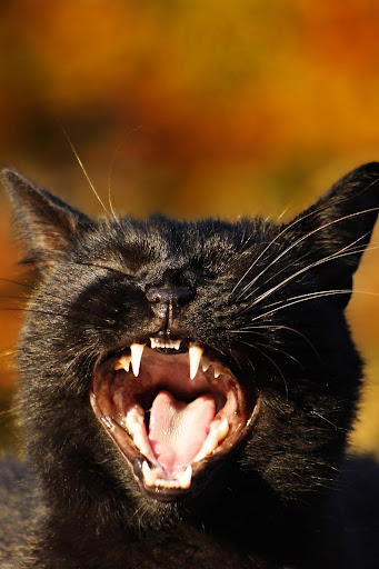 Black Cat Wallpaper Full HD (backgrounds & themes)  screenshots 1