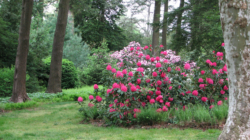 Photo: Rhododendron hybrids in Peirce's Park