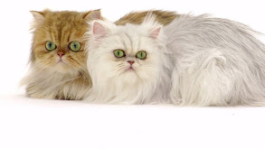 American Shorthair; Savannah; Scottish Fold; Persian; Ragdoll; Sphynx thumbnail