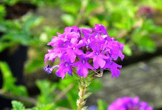 Photo: Verbena 'Homestead Purple' RHS gardens Wisley