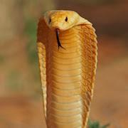 К чему снится кобра?