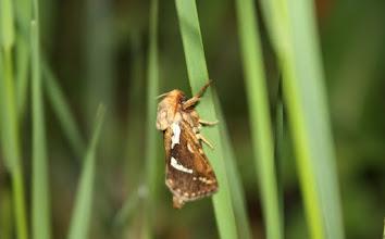 Photo: Korscheltellus lupulinus   Lepidoptera > Hepialidae