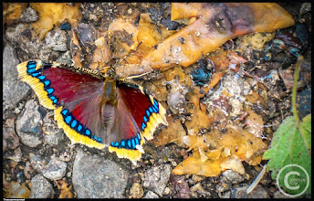 Photo: Trauermantel  Nymphalis antiopa, known as the Mourning Cloak in North America and the Camberwell Beauty in Britain, is a large butterfly native to Eurasia and North America. See also Anglewing butterflies.