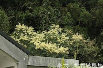 Photo: 拍攝地點: 梅峰-乾燥花室 拍攝植物: 裡白蔥木 拍攝日期:2012_09_27_FY