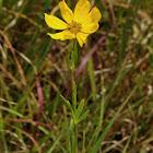 Prairie Coreopsis