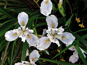 Photo: white Pacific coastal irises (iris douglasiana)