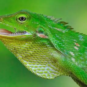 Chameleon by Petrus Arif - Animals Reptiles