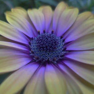 african daisies..late may 15 115.JPG