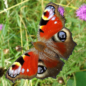 Peacock butterfly  by Pat Regan - Animals Insects & Spiders ( macro, nature, butterflies, color, winner,  )